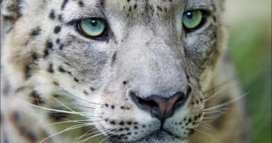 Uttarakhand builds a snow leopard park in order to attract the attention of tourists towards the state