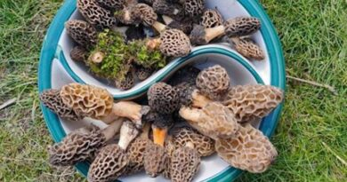 Why Wild Guchchi from the Himalayas is one of the Most Expensive Mushrooms