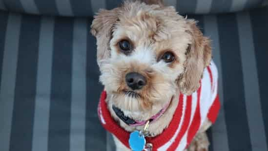 As winter intensifies, pet owners get trendy, warm clothes for their companions